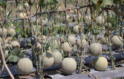 Tanam Melon di Lahan Sawah GMIT, Zakarias Raup 12 Juta Dalam Waktu 2,5 Bulan