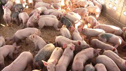 Ayo Bantu Mencegah Penularan Wabah Penyakit Babi*